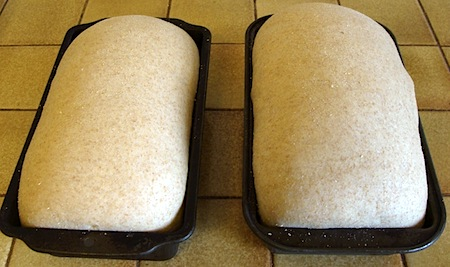 Whole wheat sandwich bread risen dough in pans