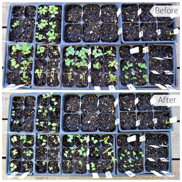 Caring For Seedlings Week 1 - Cole Crops Before and After - An Oregon Cottage