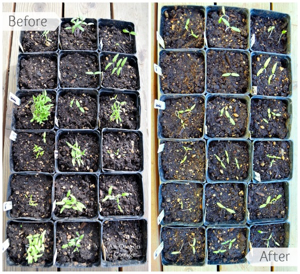 Caring For Seedlings Week 1 - Tomatoes Before and After - An Oregon Cottage