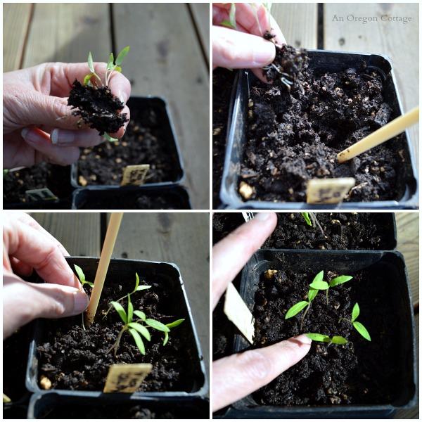 Caring For Seedlings Week 1 - Transplanting - An Oregon Cottage