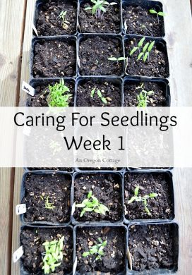 Vegetable Garden 101: Caring For Seedlings at Week 1