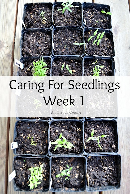 Caring for Seedlings at One Week pin image