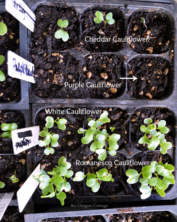 Caring for Seedlings at One Week - Cauliflower Comparison - An Oregon Cottage