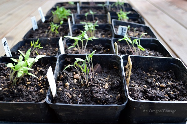 Caring for Seedlings at One Week - Tomatoes - An Oregon Cottage