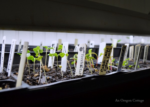 Caring for Seedlings at One Week- Trays Under Light - An Oregon Cottage