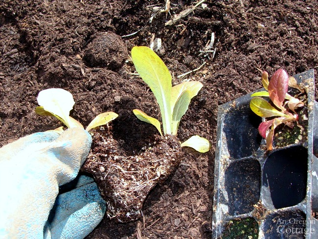 Dividing lettuce seedlings for planting