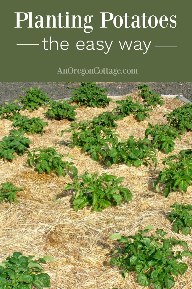 Planting potatoes the easy way