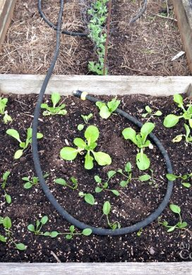 Spinach and Cabbage seedlings in raised bed