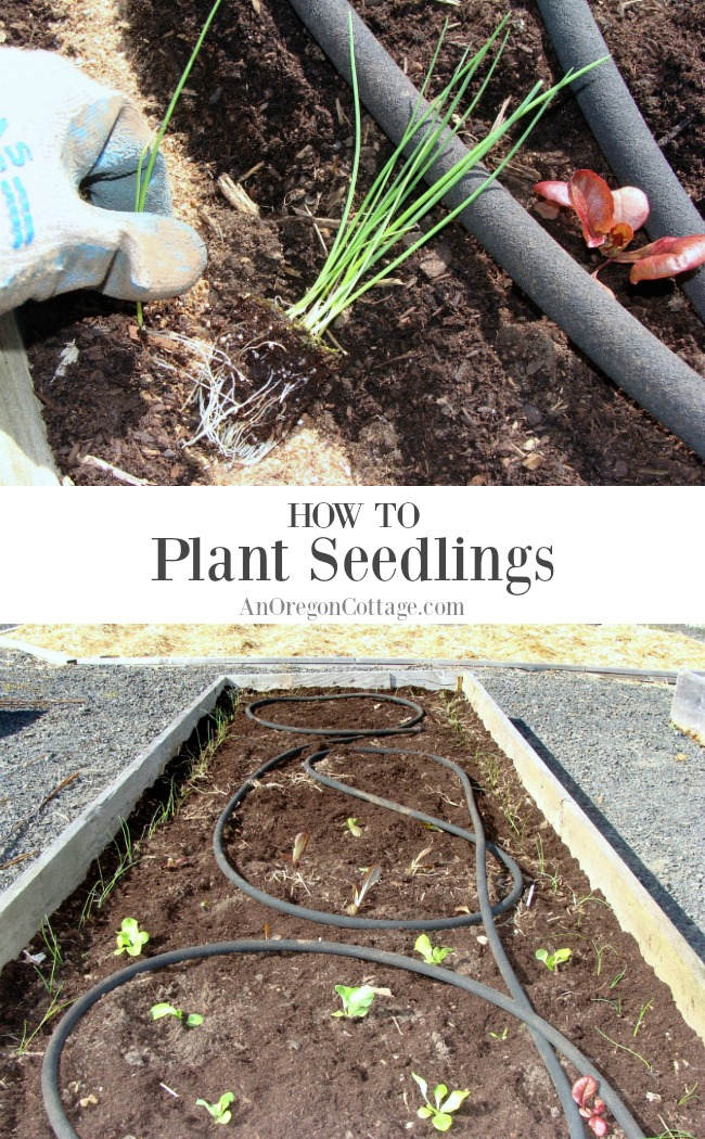 Vegetable Garden 101: How to Plant Seedlings, prepare individual holes or rows, and best tips for success. Imagine your table loaded with your home-grown produce!