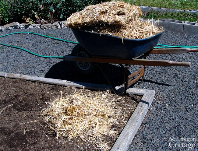 easy potato planting-covering hills with straw