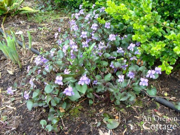 wild violet growing