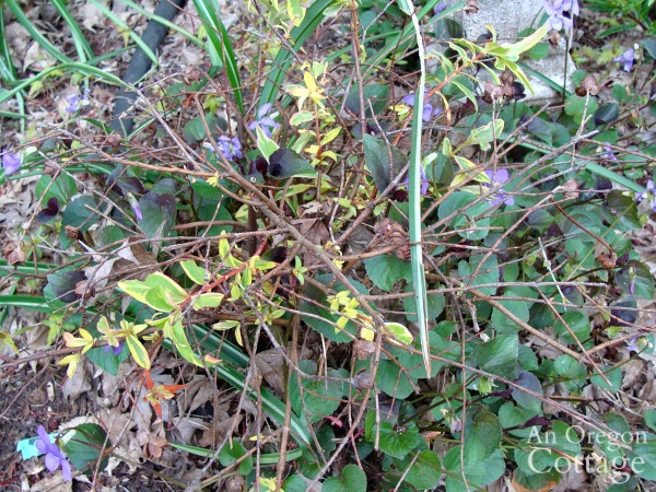 wild violet killing plant