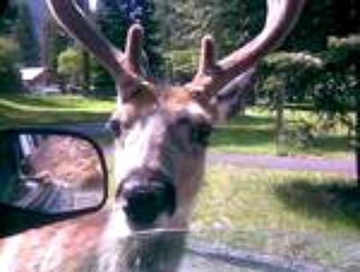 Deer at car window