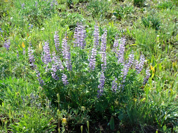 Hell's Canyon-wild purple Lupine