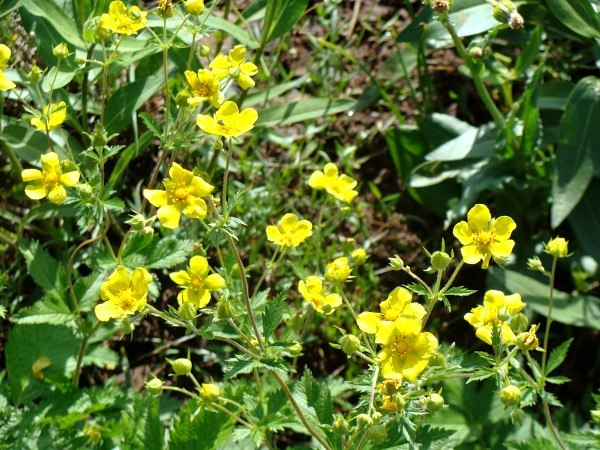 Hell's Canyon-wild yellow potentilla-like flower