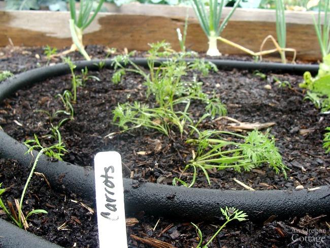 Fall Garden Carrots in July