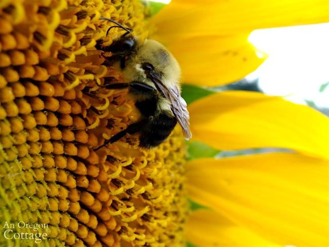 bee on sunflower seed head