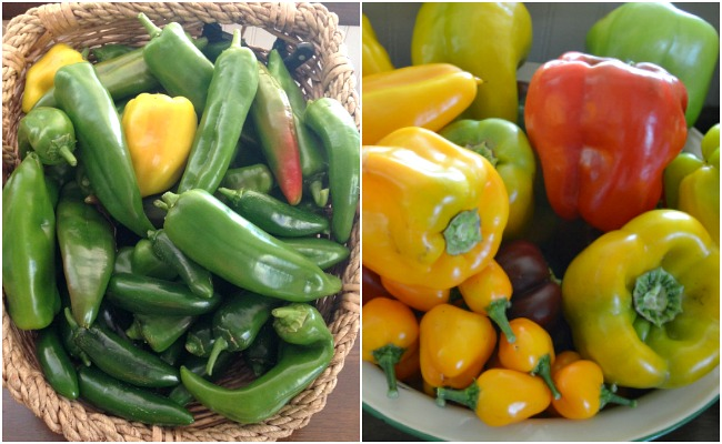Harvests of peppers ready for freezing.