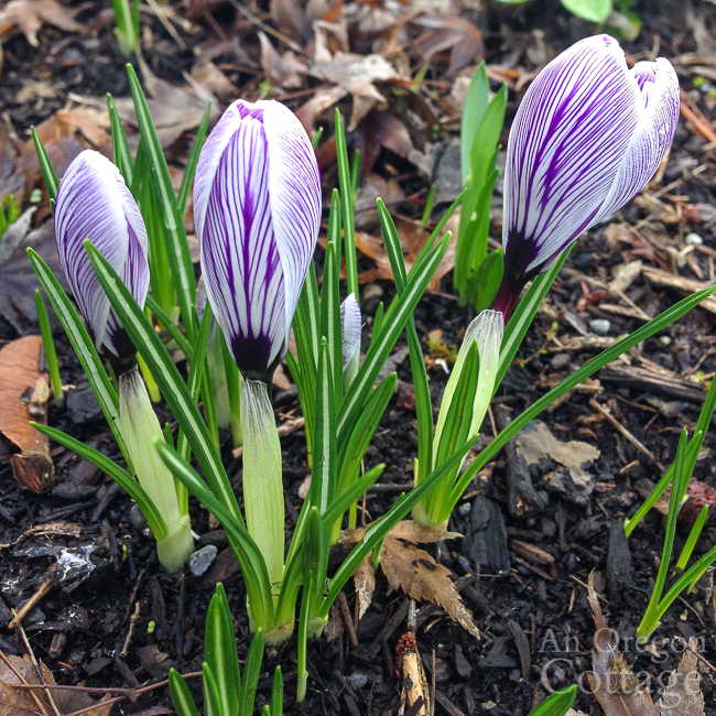budded purple-white crocus clump