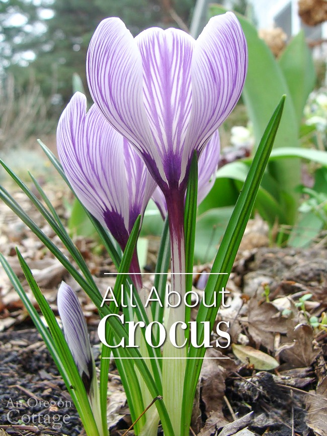 purple stripe flowering crocus from side