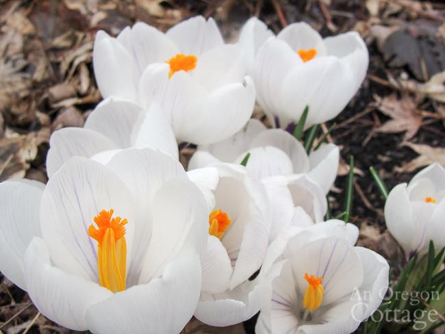 white flowering crocus