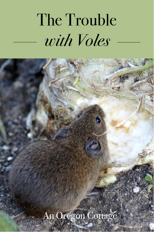 The Trouble with Voles–An Oregon Cottage