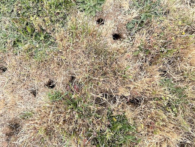 vole holes-damage in lawn