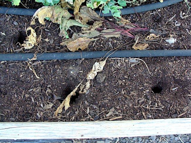 vole holes in garden beds