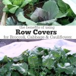 The Benefits of Using Row Covers for Broccoli, Cabbage & Cauliflower include bug deterrent, better growth, and quicker harvest.