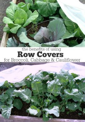 Benefits of Using Row Covers for Broccoli, Cabbage & Cauliflower