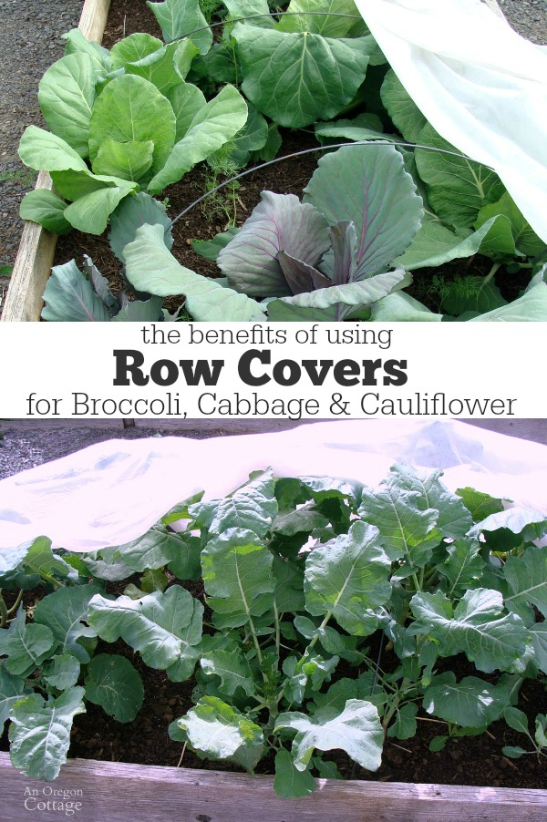 Using Row Covers for Broccoli, Cabbage & Cauliflower image