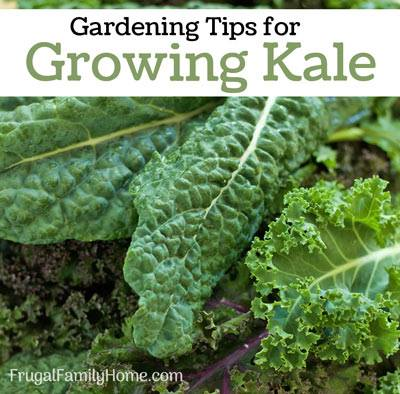 Tips for growing Kale via Frugal Family Home