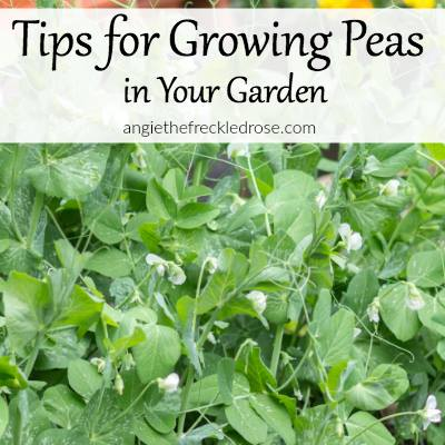 Tips for growing peas via The Freckled Rose