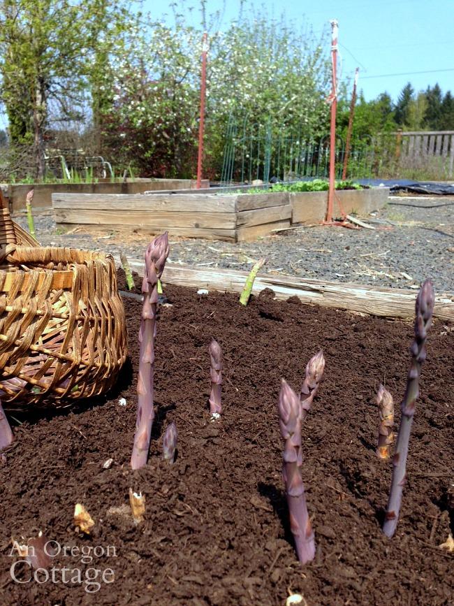 Harvesting Asparagus in spring