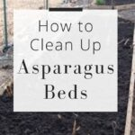 How to clean up Asparagus beds