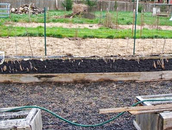 asparagus bed after cleanup