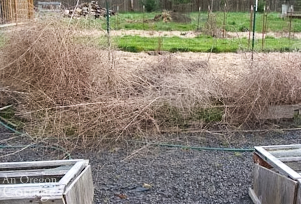 asparagus bed before cleanup