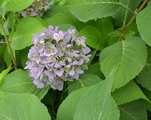 favorite flower-hydrangea