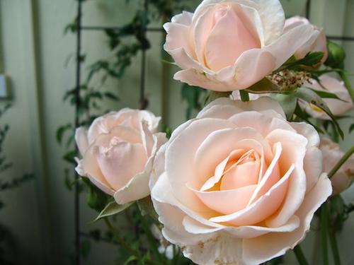 favorite flower-rose