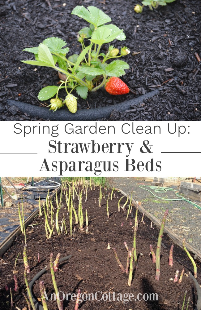 strawberry-asparagus beds clean up