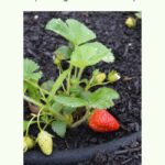 strawberry beds spring clean up