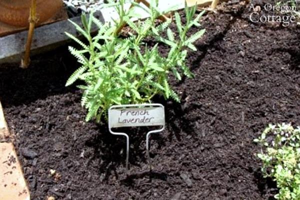 Herb Garden-French Lavender