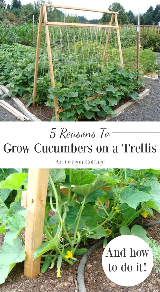 Cucumbers grown on a trellis- why and how