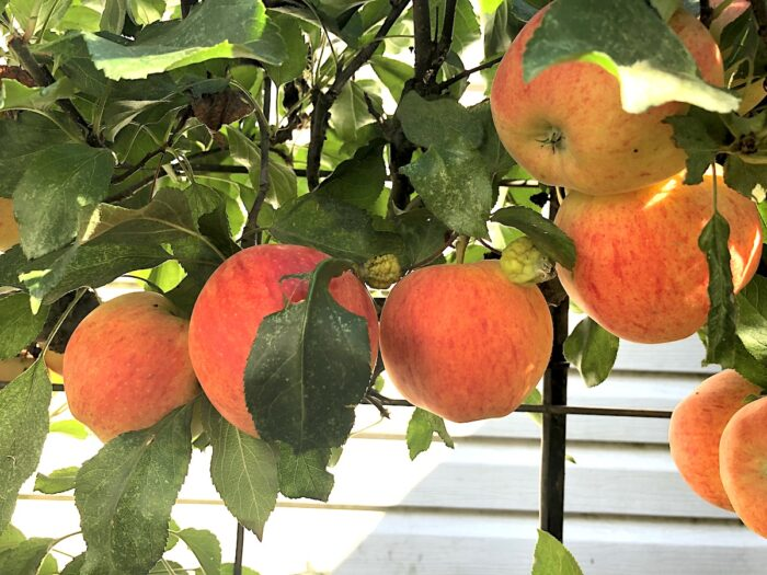 Gala Apples Growing on Branch