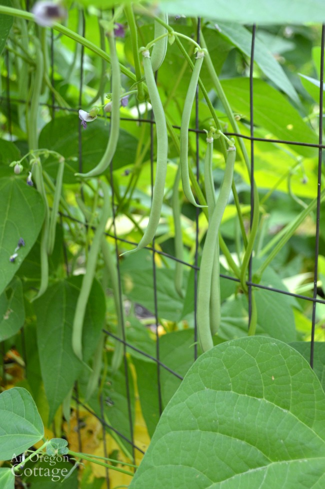 Easy to Pick Emerite Pole Beans
