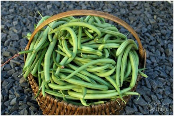 Emerite pole green beans-October harvest