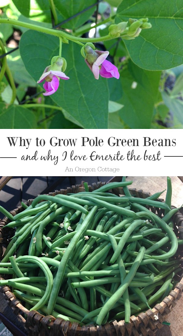 Why to Grow Emerite pole green beans (or any pole bean instead of bush)