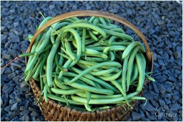 Basket of fresh green beans