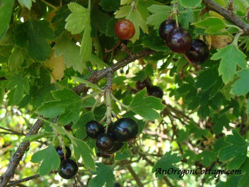 ripe-black-currants