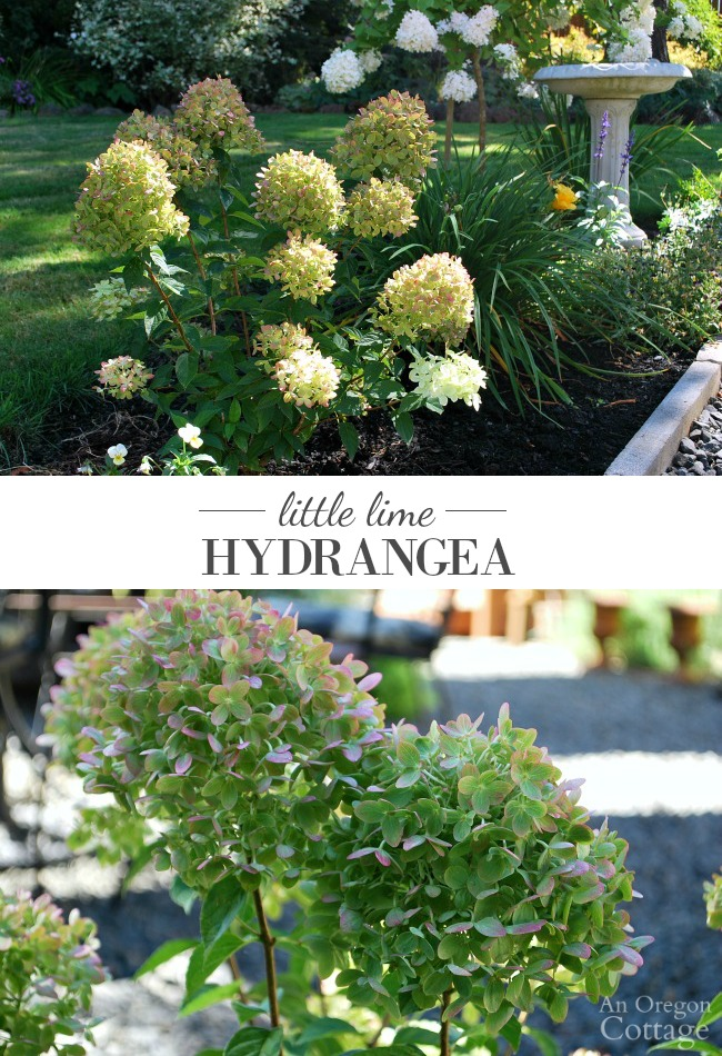 Little Lime Hydrangea- a unique hydrangea that fits in any size garden.